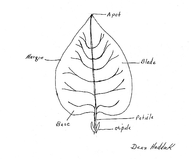 Label Leaf Colouring Pages