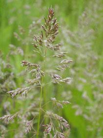 Kansas Wildflowers And Grasses Kentucky Bluegrass